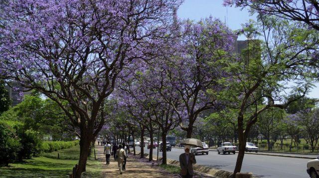 Jacaranda in Nairobi